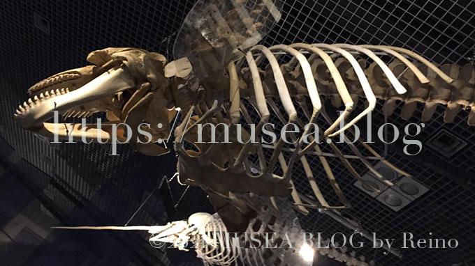 「海のハンター展」シャチ・イッカクの骨格