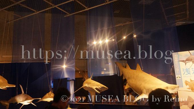 ラブカ、ミツクリザメ、ダルマザメ、アオザメ、シロワニ、シロシュモクザメなど、深海から浅い海にいたる様々な海域にすむ多様なサメの標本