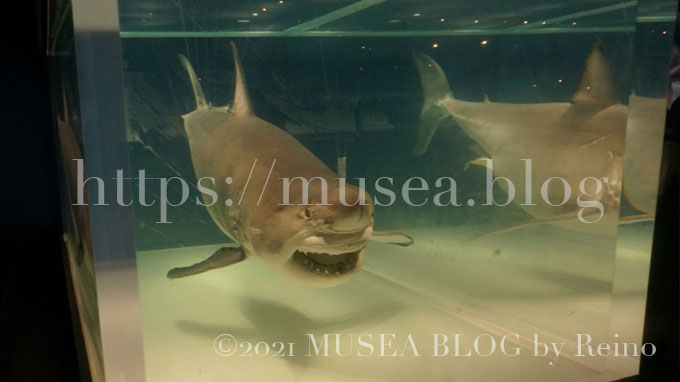 サメ展!見どころは3.2mのホホジロザメ「海のハンター展2016」上野国立科学博物館