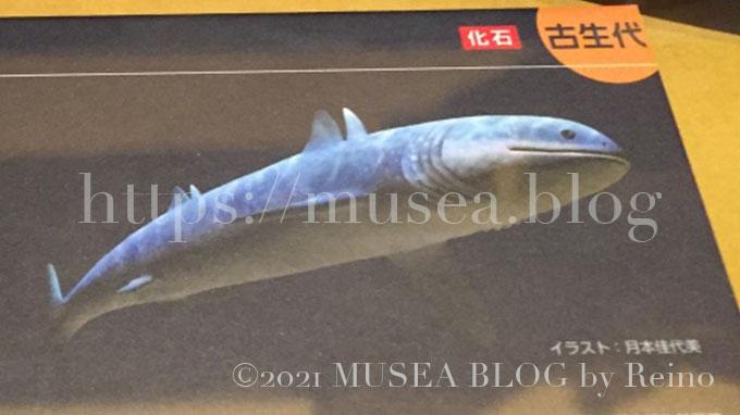 古代サメ クラドセラケ(Cladoselache)