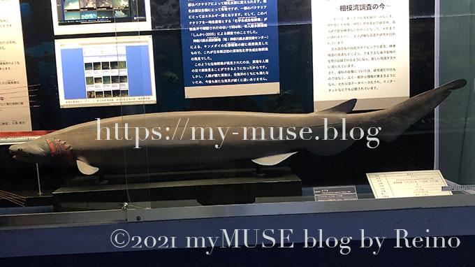 京急油壺マリンパーク(水族館)のラブカの標本