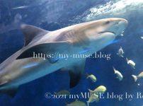 油壺マリンパークのオオメジロザメ(ウシザメ)