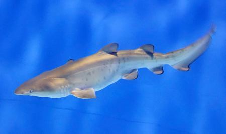 アクアワールド茨城県大洗水族館で生まれた「シロワニ」の幼魚