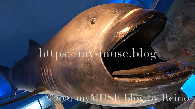 京急油壷マリンパーク(水族館)のメガマウスの標本