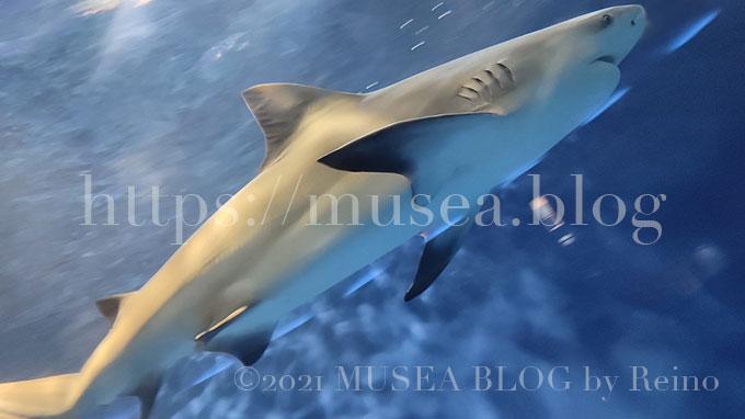 油壺マリンパーク(水族館)のオオメジロザメ(ウシザメ)
