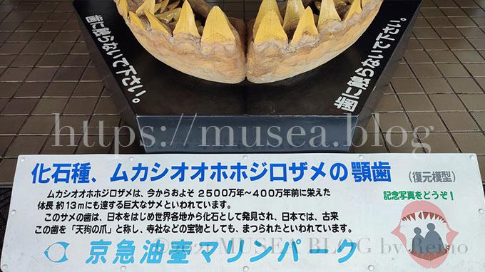 水族館、京急油壺マリンパークにあるメガロドン(ムカシオオホホジロザメ)の歯型は撮影スポット