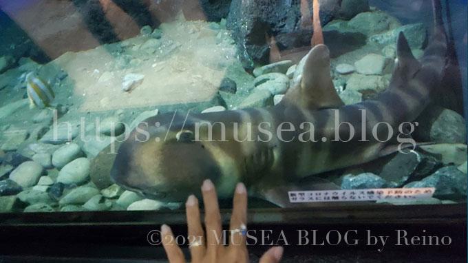 京急油壺マリンパーク(水族館)のネコザメ