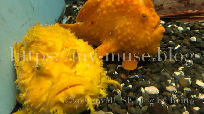 京急油壺マリンパーク(水族館)のイロカエルアンコウ