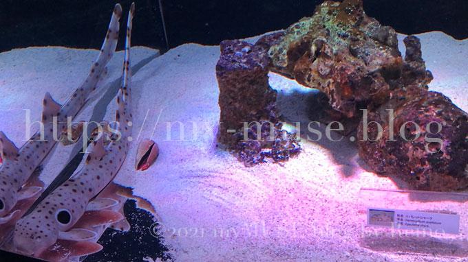 水族館マクセルアクアパーク品川のエパレットシャークの子ども