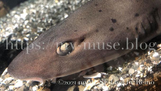 油壺マリンパークのかわいいドチザメ。2021年1月に撮影。