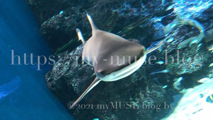ツマグロはかわいい。サメの写真。