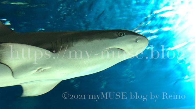 かわいいツマグロの特徴とは?サメ好き女子が水族館で撮影した画像付きで解説