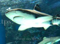 かわいいツマグロの特徴とは?サメ好きな私が自分で撮影した画像付きで解説