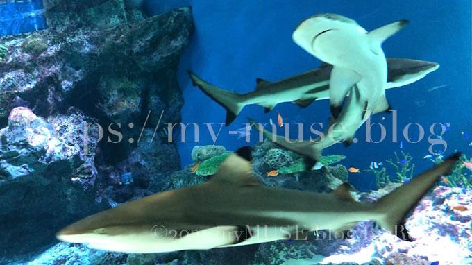 水族館マクセルアクアパーク品川のサメがいる「熱帯大水槽」のツマグロ。水深約2メートル、幅約20メートルの横長の水槽に53種、約7700匹の魚たちが優雅に泳ぐ姿は圧巻。