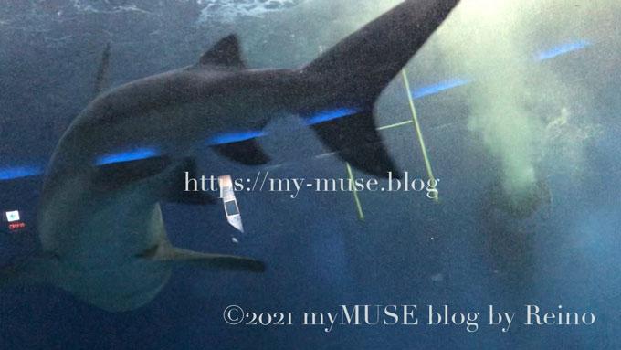 オオメジロザメ(ウシザメ)のターンも見ることができる油壺マリンパーク