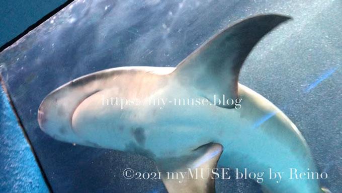 油壺マリンパークのオオメジロザメの女の子