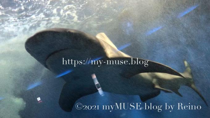 色々なアングルから観察できる油壺マリンパークのオオメジロザメ(ウシザメ)
