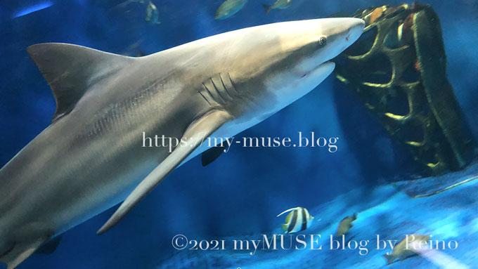図鑑で見るよりしなやかな感じ。油壺マリンパークのオオメジロザメ(ウシザメ)