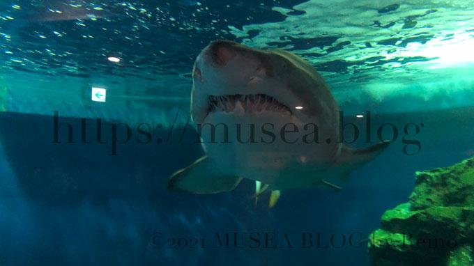 しながわ水族館のシロワニ。正面から。