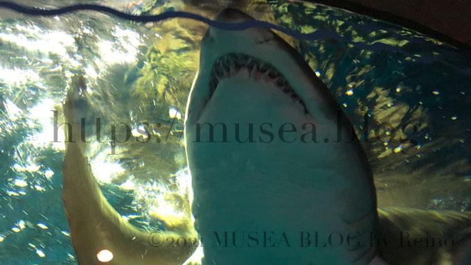しながわ水族館のシロワニ。歯がすごい。