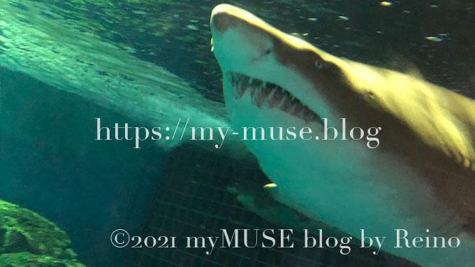 しながわ水族館のシロワニ。サメ相が悪すぎる 笑