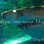 シロワニは顔が怖いけどおとなしい。しながわ水族館のシロワニ。