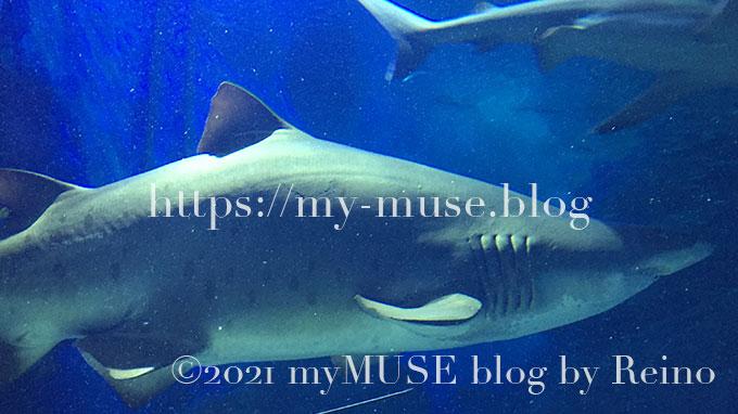 こちらは、福岡県の水族館マリンワールド海の中道のメスのシロワニと思われる。