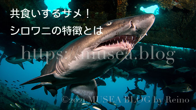 共食いするサメ!シロワニの特徴、大きさ、生態、寿命、生息域とは?会える水族館も紹介
