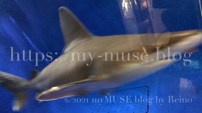 油壺マリンパークのヤジブカ(メジロザメ)。2021年1月に撮影。