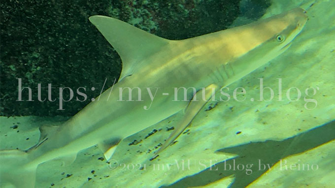 マクセルアクアパーク品川のメジロザメ(ヤジブカ)。2020年2月に撮影。