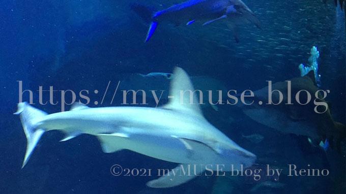 福岡県の水族館 マリンワールド海の中道のメジロザメ(2016年6月に撮影)