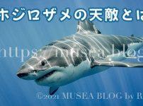 なぜ、ホホジロザメが絶滅危惧種なのか?人食いサメよりも怖いサメの天敵