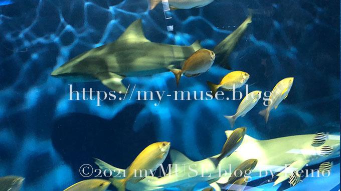 油壺マリンパークのレモンザメ。オオメジロザメとすれ違うところを見ることができました。2021年1月に撮影。