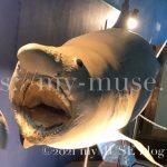 京急油壺マリンパークのオオワニザメの剥製標本