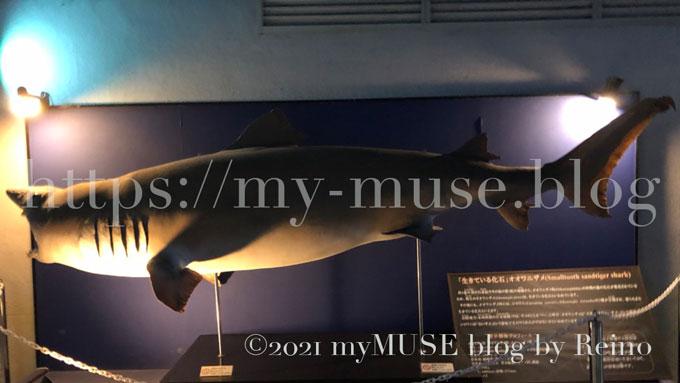 京急油壺マリンパークのオオワニザメの剥製標本。全長3.4m、350kg。メス。