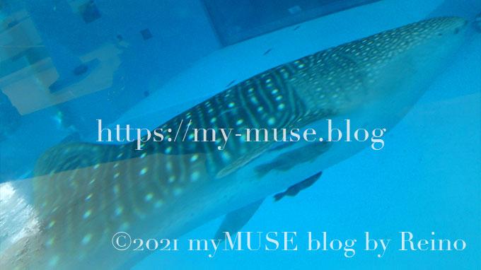 東日本では初の水槽展示となった『横浜・八景島シーパラダイス』のジンベエザメ。2010年8月に千葉県館山市沖の定置網に迷い込んだもので、体長は約4.5m。国内では5番目。