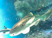 かわいいトラフザメの特徴とは?サメ好きな私が自分で撮影した画像付きで解説