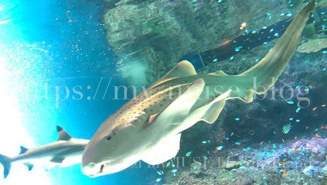 かわいいトラフザメの特徴とは?サメ好き女子が水族館で撮影した画像付きで解説