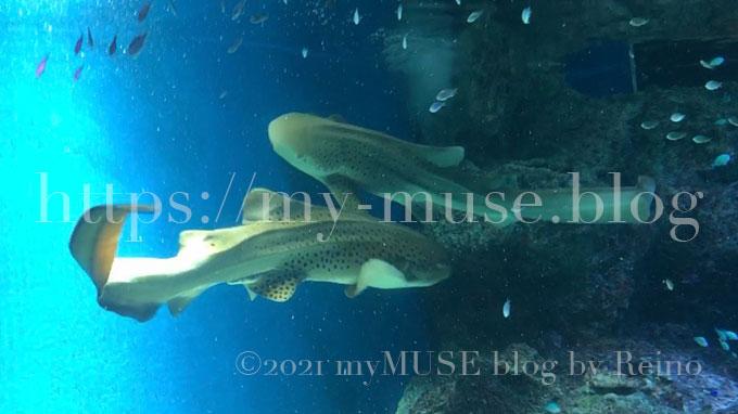 マクセルアクアパーク品川のトラフザメ。2021年2月に撮影。尻尾が長い。