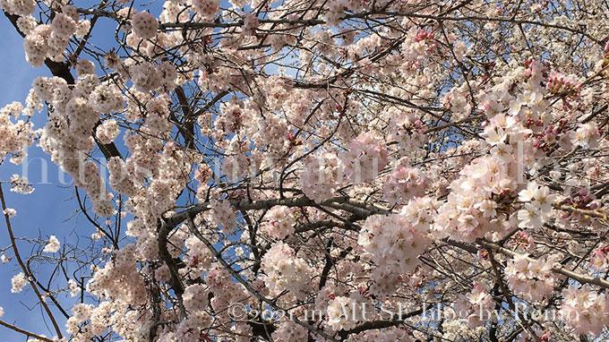 2019年3月24日に撮影した増上寺の桜