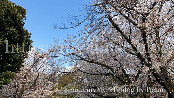 2019年3月31日に撮影した増上寺の桜
