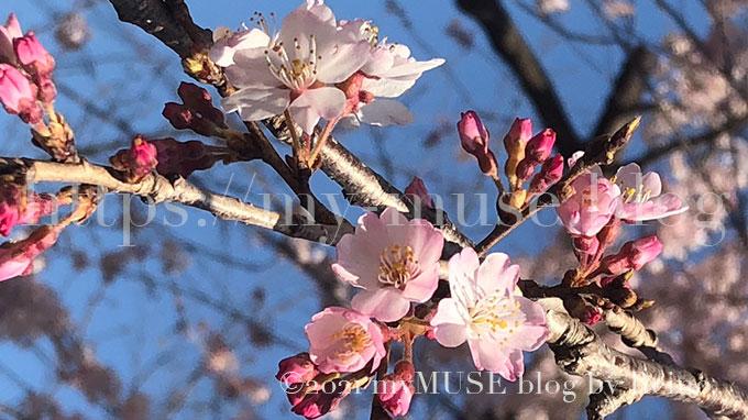 2020年3月18日に撮影した増上寺の桜