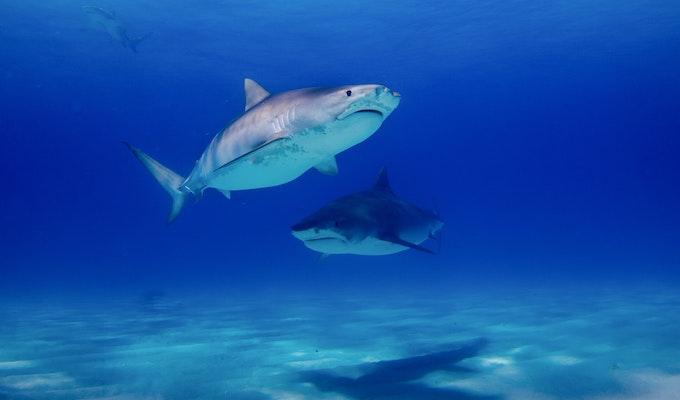 tiger sharkかわいいけど危険な鮫!イタチザメの特徴、日本での生息域、人食いサメなの?などの疑問に答えます
