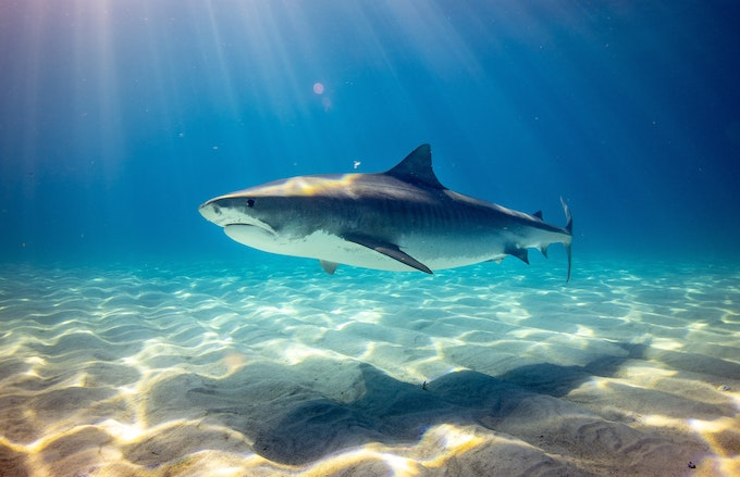 かわいいけど危険な鮫!イタチザメの特徴、日本での生息域、人食いサメなの?などの疑問に答えます