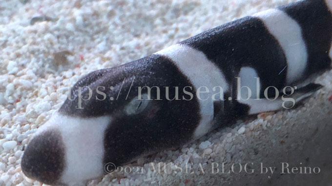 水族館アクアパーク品川で卵から孵って日が浅そうなイヌザメの赤ちゃんを発見!