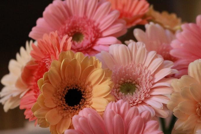 ガーベラの花言葉・由来・原産地・英語名・切り花の水の量