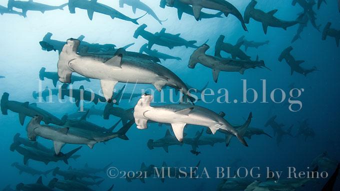 アカシュモクザメの日本での生息域、生態、大きさ、特徴、寿命、動画