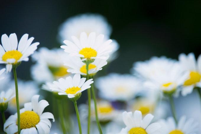マーガレットの花言葉・由来・原産地・英語名・切り花の水の量