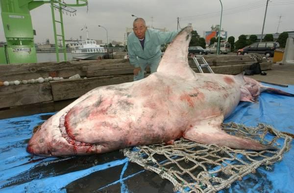 千鳥運河で発見された体長4.8メートルのホホジロザメ(神奈川・川崎市川崎区)(2005年10月26日) 【時事通信社】