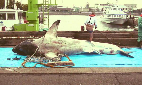 神奈川県川崎市川崎区の運河で見つかったホホジロザメの死がい。[神奈川県警提供](2005年10月26日) 【時事通信社】